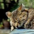 Katze schnurrt laut