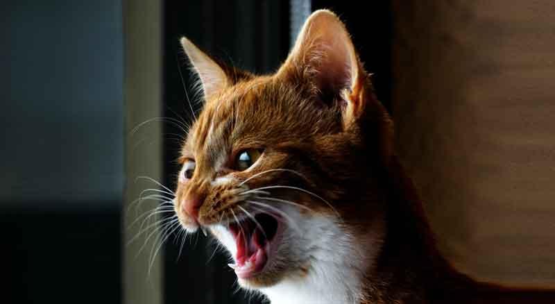 Katze jault nachts
