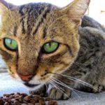 Katze Trockenfutter